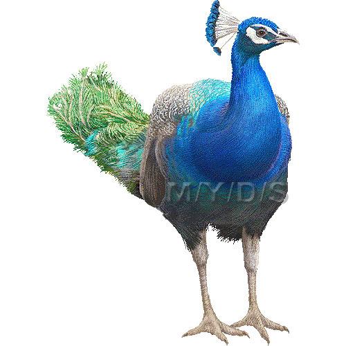 Peafowl clipart Clipart Peafowl Large Peafowl Indian
