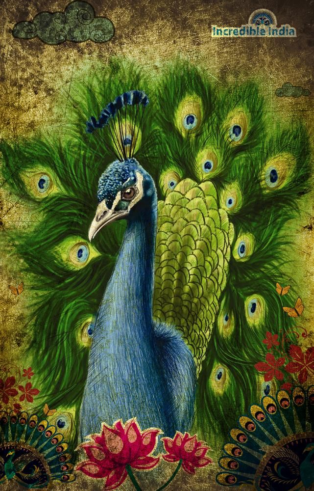 Peafowl clipart indian peacock Best Pinterest 485 Peacock