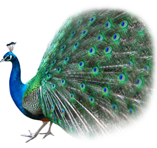 Peacock clipart transparent All Advertisement PNG Images PNG
