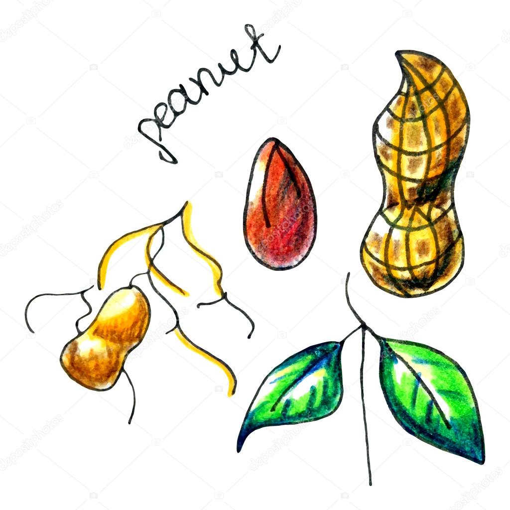 Peanut Butter clipart peanut shell Stock an Vector © Your_Inspiration