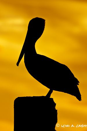 Pelican clipart silhouette Pinterest about 10 Pelican on