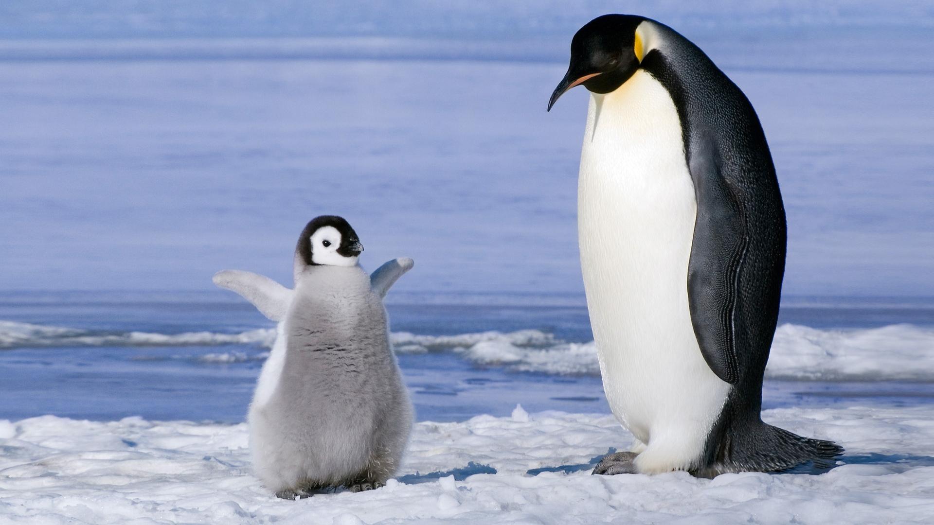 Penguin clipart snow ice Snow couple couple Full cub