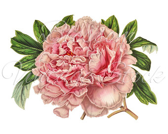Peony clipart flower bunches Vintage art Art Clip Illustration