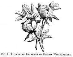 Vintage Flower clipart illustration Peony and white and engraving