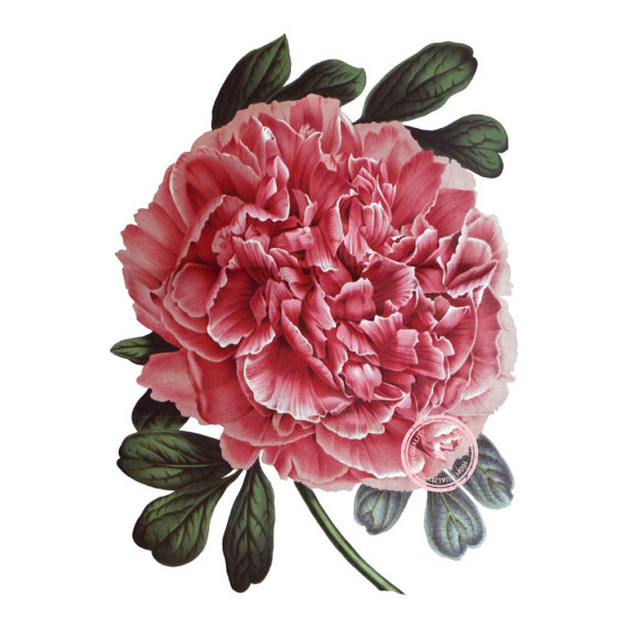 Peony clipart vintage Clip Png Instant art Art