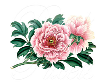 Peony clipart vintage Pink no flower Peony Print