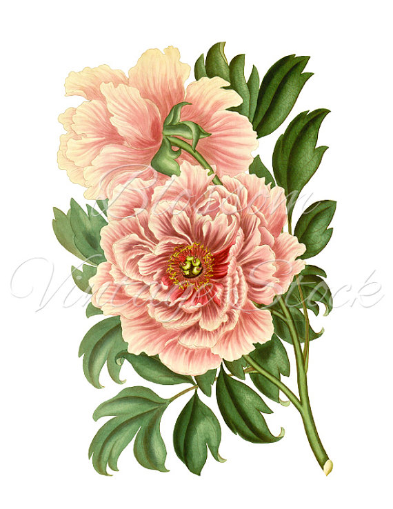 Peony clipart vintage Clipart Vintage Digital Peony Graphic