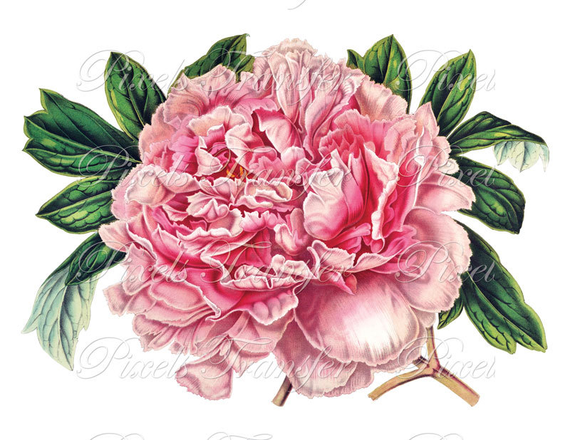 Peony clipart vintage Instant item? this Like pink