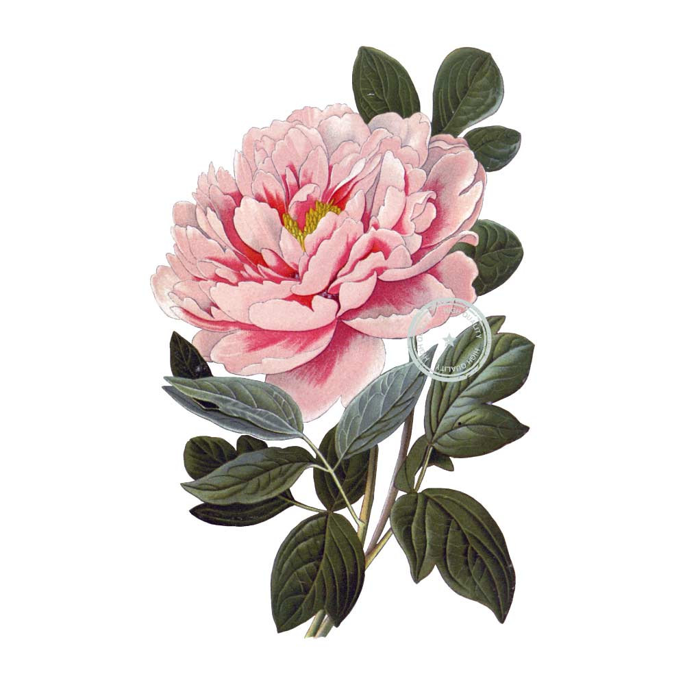 Peony clipart vintage Clipart file  a is