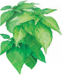 Pepper clipart sili Herb_sili[1] HealthyLifetyle