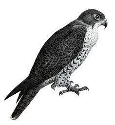 Peregrine Falcon clipart Peregrine falcon Peregrine Clipart clipart