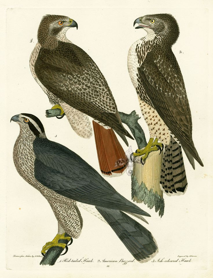 Peregrine Falcon clipart audubon Find Birds James Artist and