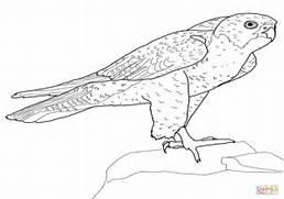 Peregrine Falcon clipart coloring Falcon peregrine  coloring Falcon