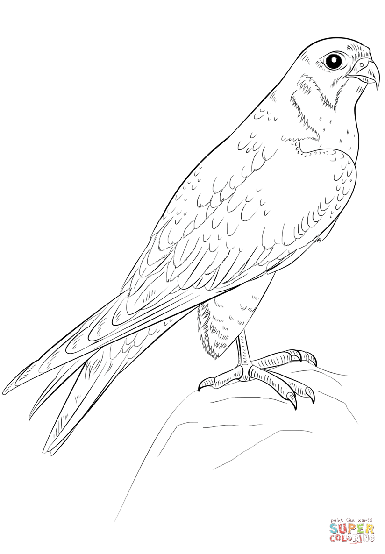 Peregrine Falcon clipart bird Printable the Peregrine it iPad