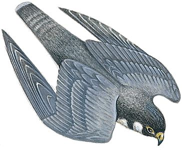 Peregrine Falcon clipart drawing The Falcon Tattoos Falcon more