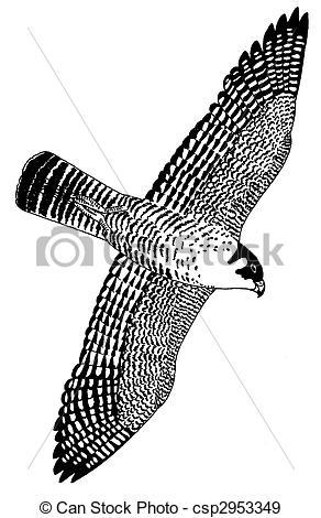 Peregrine Falcon clipart drawing Falco Peregrine Duck Illustration Falcon