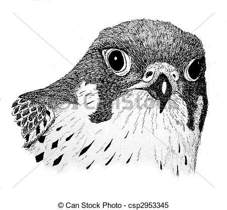 Peregrine Falcon clipart drawing Illustrations Hawk Falcon Clip peregrinus