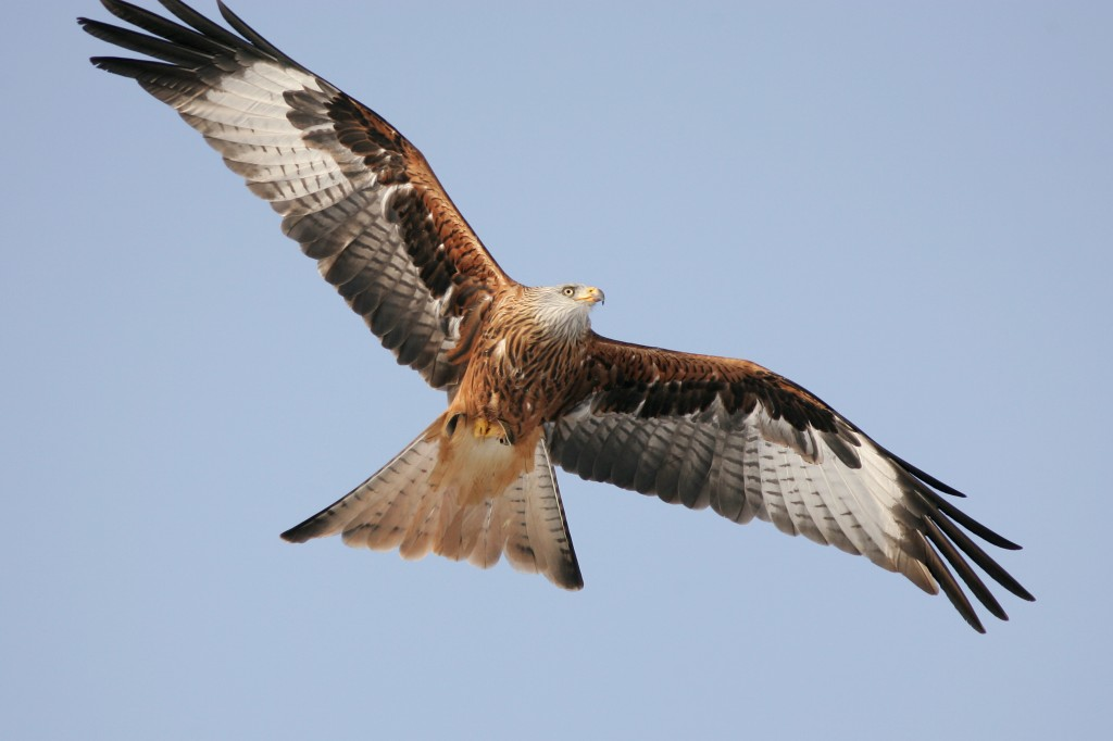 Peregrine Falcon clipart falcon flying Peregrine Flying Peregrine  wallpaper
