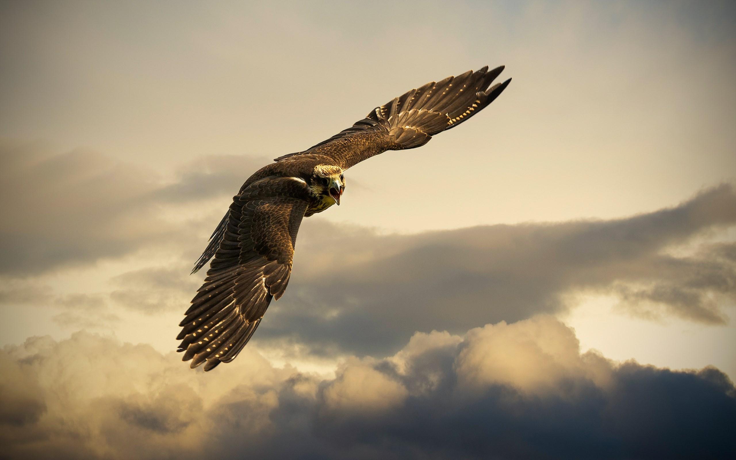 Peregrine Falcon clipart flight drawing Clipart Falcon  Falcon wallpaper