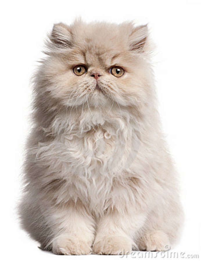 Furry clipart persian cat #9