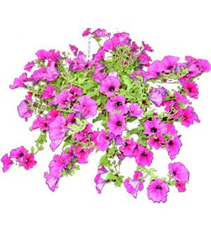 Petunia clipart PETUNIA: clipartflowerspetunias