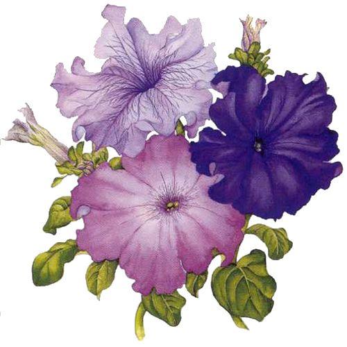 Petunia clipart hibiscus flower And Art best Art Clip