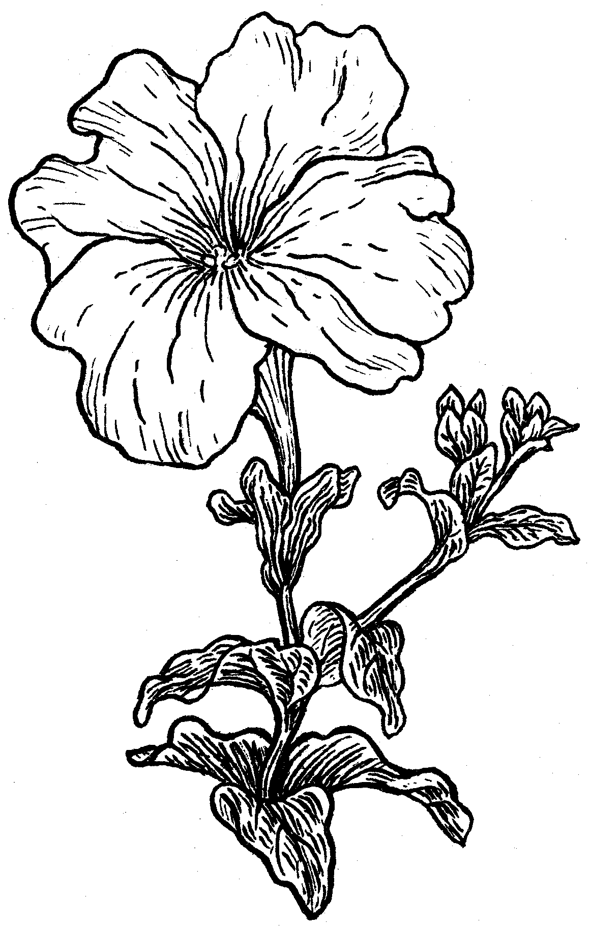 Petunia clipart hibiscus flower Google petunia Search drawing Search