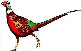 Pheasant clipart Pheasant Pheasant Clipart Free