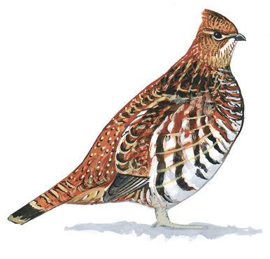 Pheasant clipart grouse And Grouse Pheasants Audubon Engolado