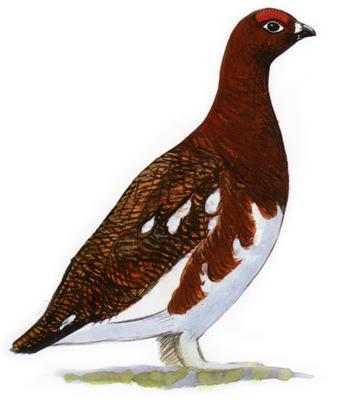Pheasant clipart grouse And Grouse Pheasants Audubon Común