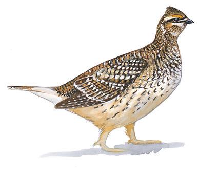 Pheasant clipart grouse Audubon Pheasants and Grouse Grouse