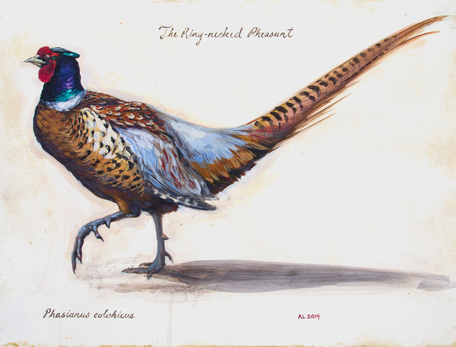 Pheasant clipart ring necked Leach Ring pheasant necked Projects