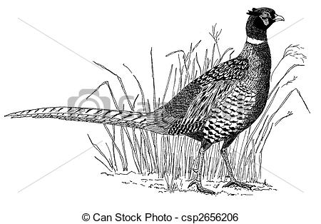 Pheasant clipart ring necked Pheasant Pheasant clipart clipart Download