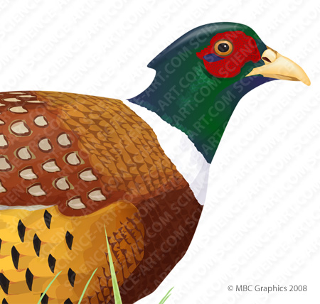 Pheasant clipart ring necked Illustration@Science Necked Necked Art Detail