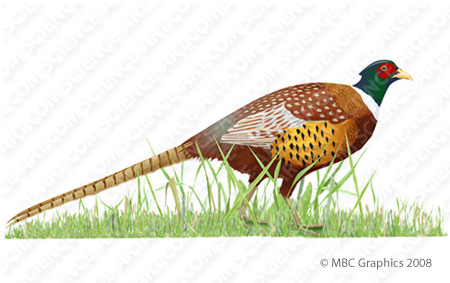 Pheasant clipart ring necked Drawing Drawing Necked Ringneck Pheasant