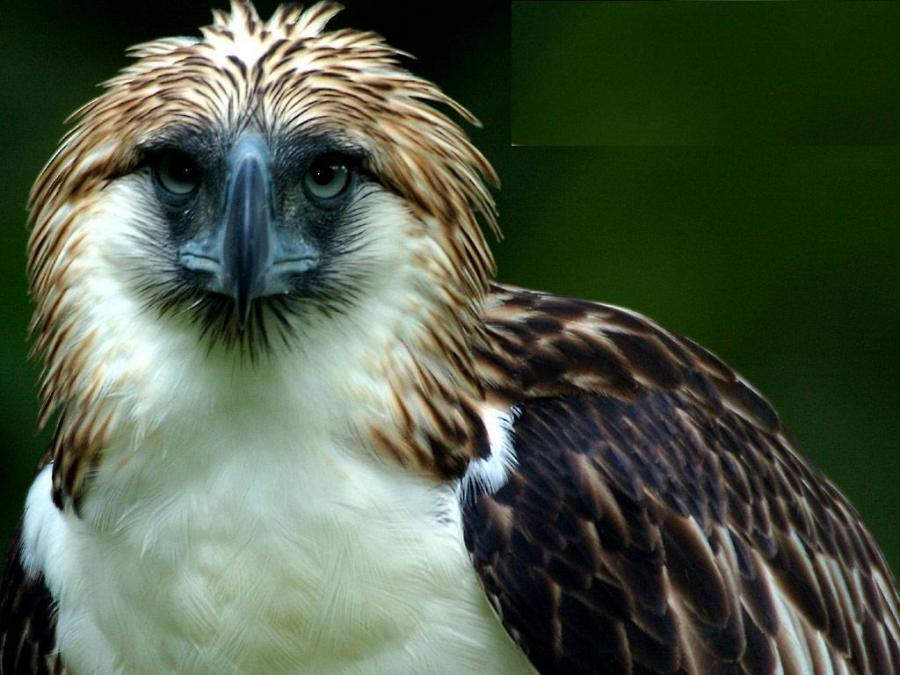 Philippine Eagle clipart Download #5 Eagle Eagle Phillipine