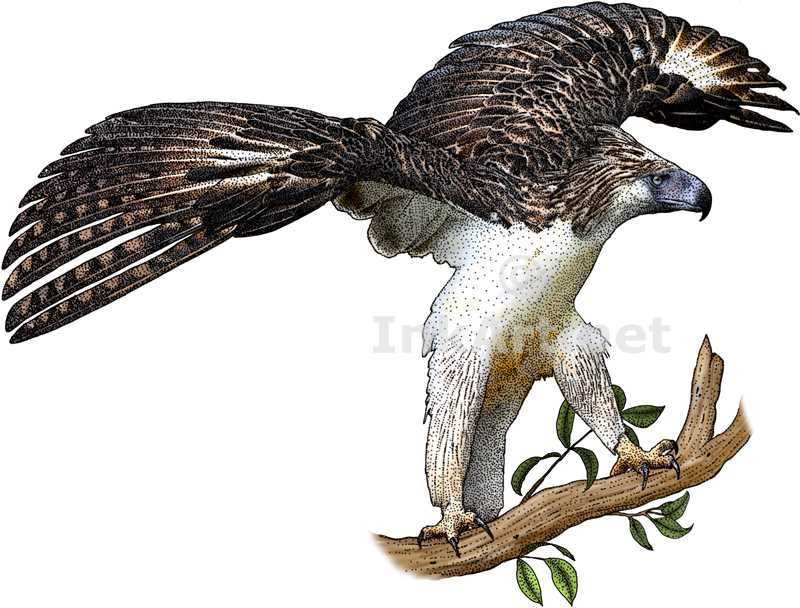 Philippine Eagle clipart A of Philippine (Pithecophaga Eagle