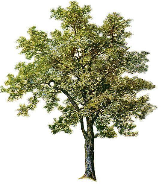 Phoenix clipart ash clipart Ash Graphic design tree 541x615