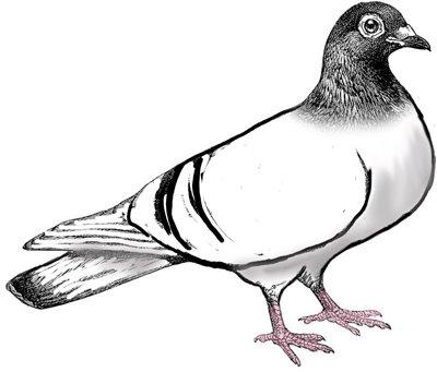 Bird clipart pigeon Clip image image clip art