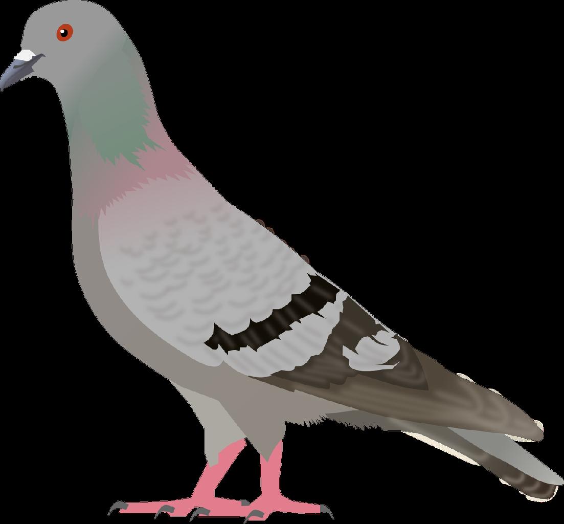 Bird clipart pigeon Free com download Pigeon Clip
