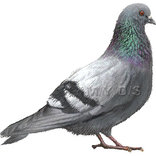 Pigeon clipart dove bird / clip picture clipart graphics