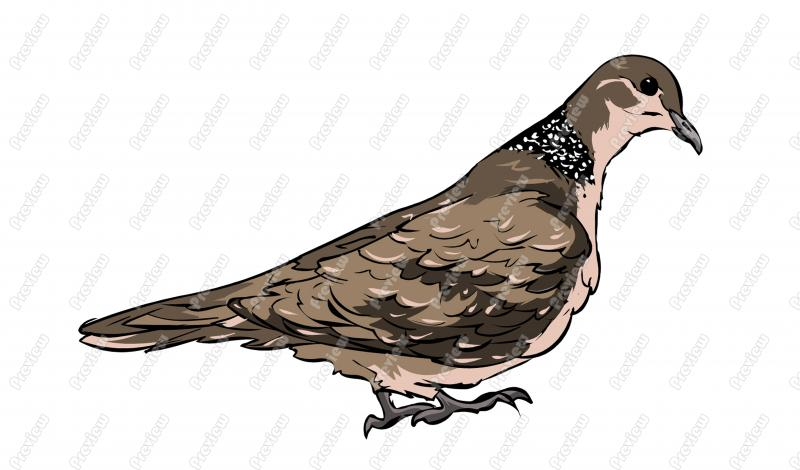 Mourning Dove clipart cartoon Pigeon #20 clipart drawings Pigeon