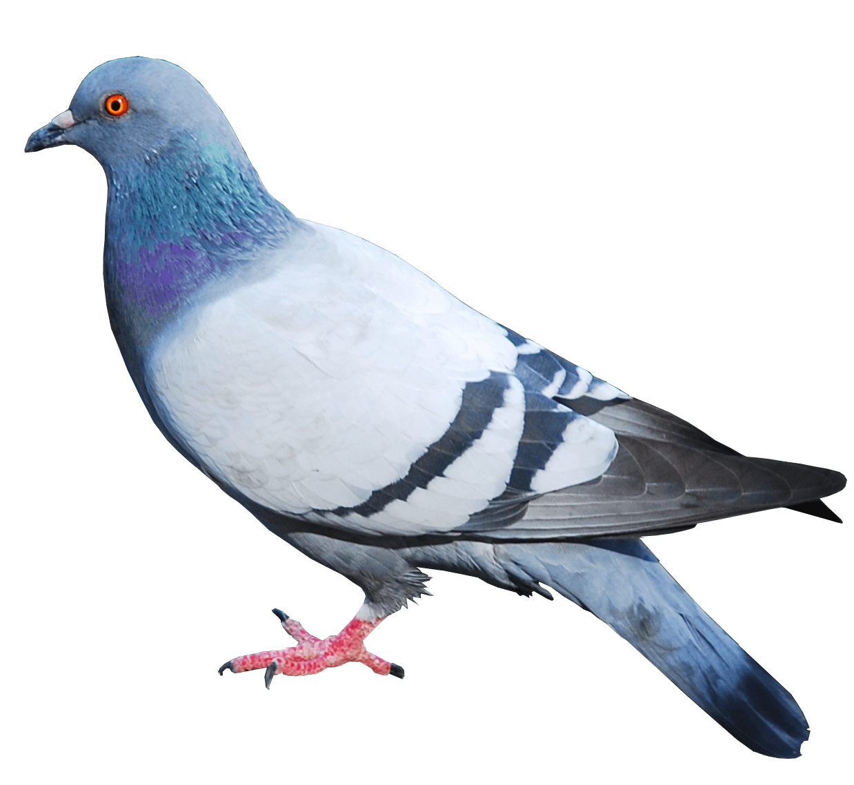 Parrot clipart kabootar Download PNG Png Image PNG