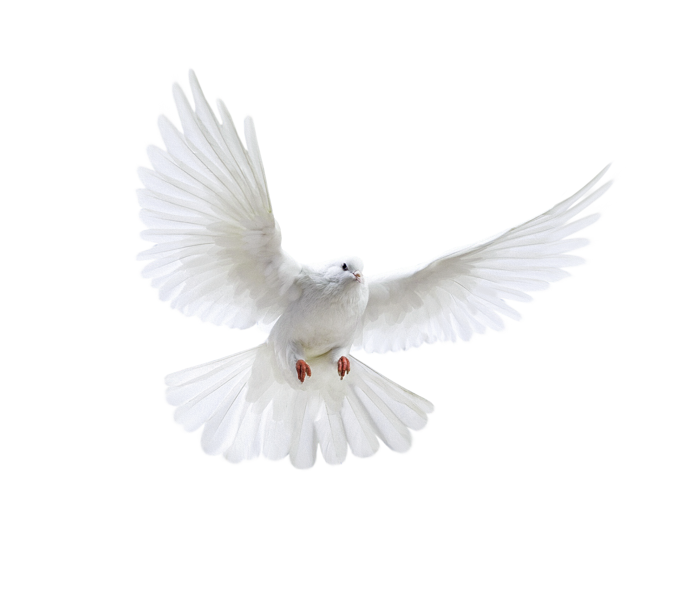 White clipart pigeon flying Image free png pigeon images