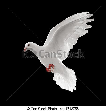 White clipart pigeon flying Isolated flying of dove pigeon