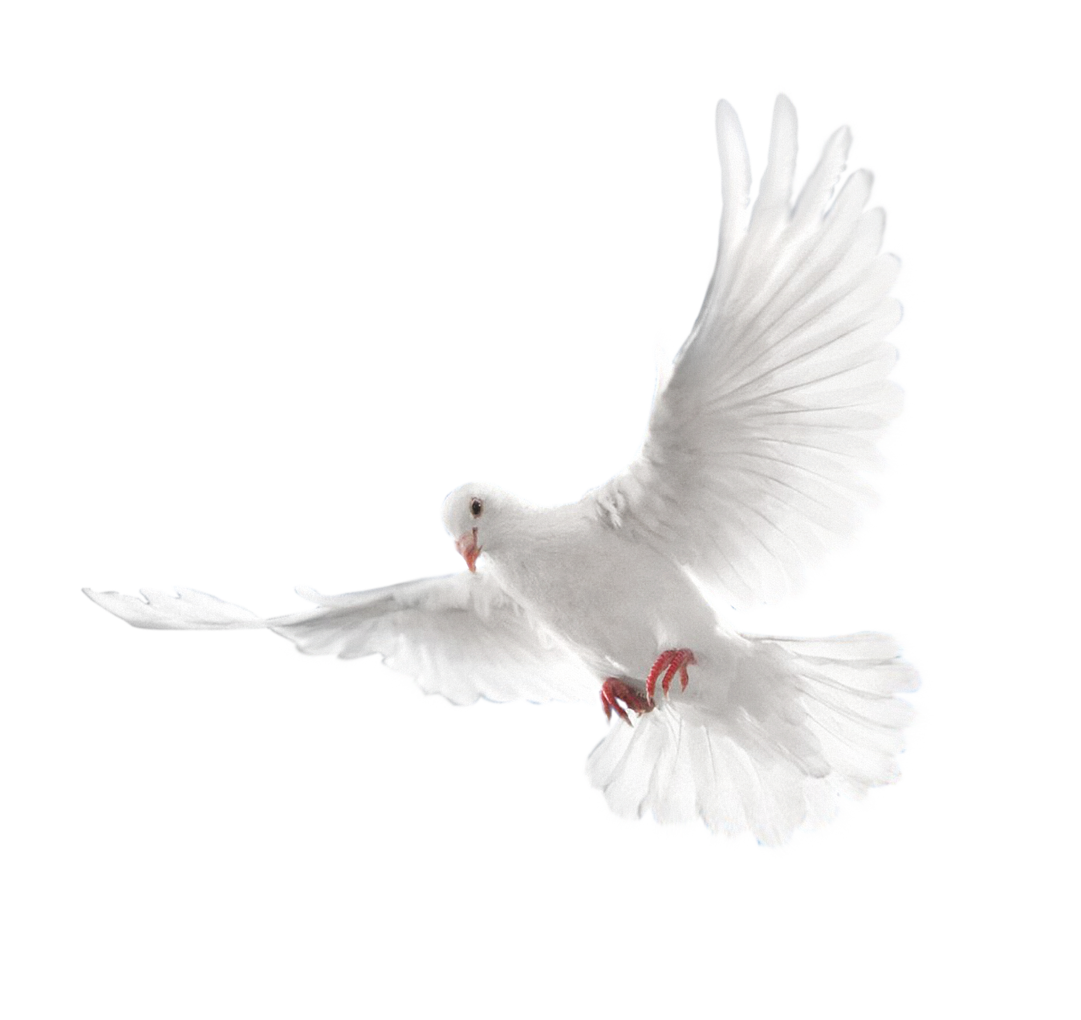 Peace Dove clipart air animal #2
