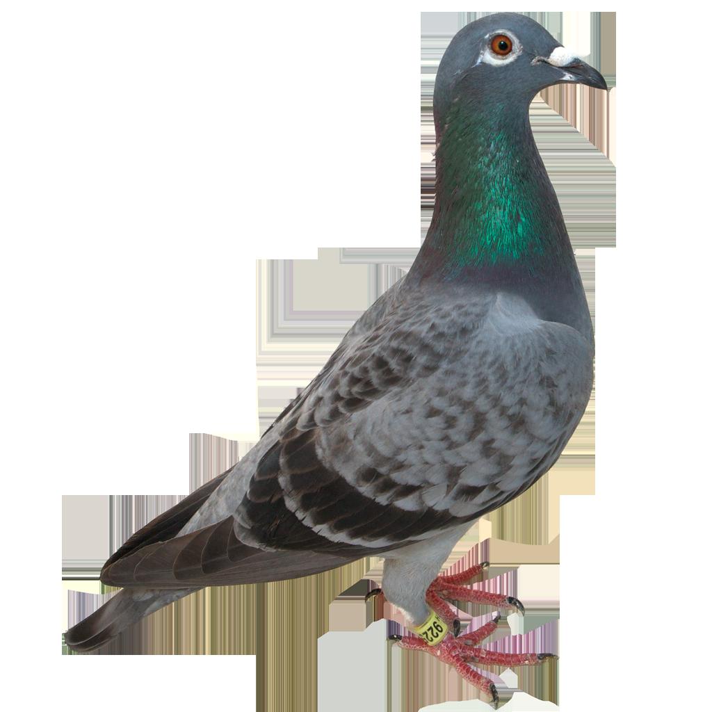 Pidgeons clipart letter Images QyGjxZ Pigeon