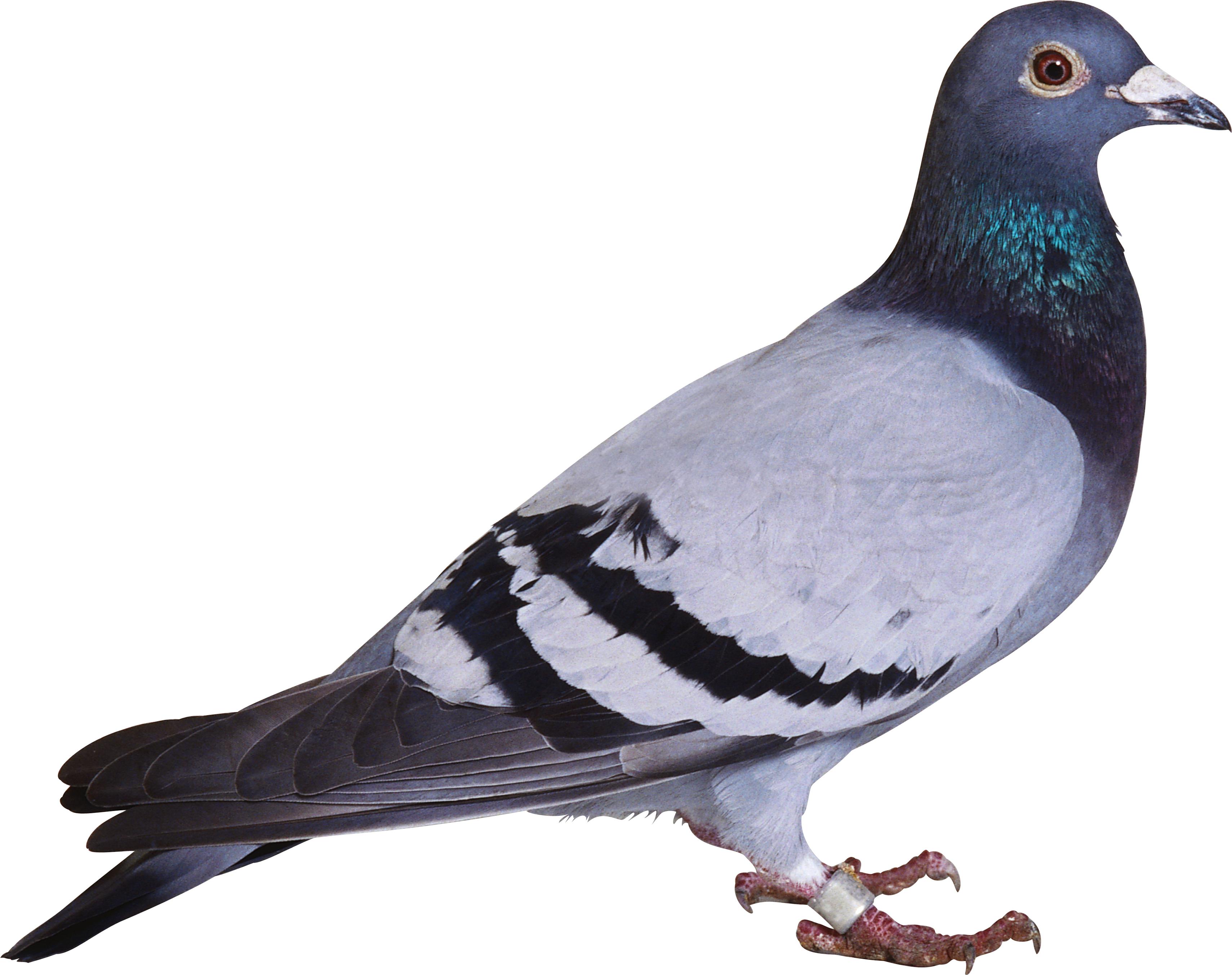 Pigeon clipart simple bird Spot Clipart Clipart Clipart Pigeon