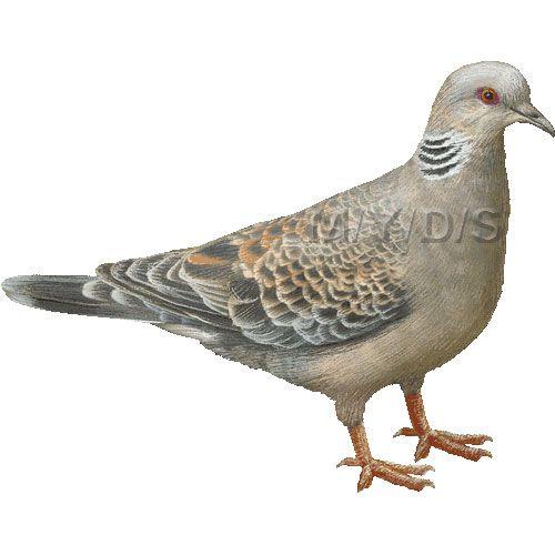 Pidgeons clipart turtle dove About 14 clipart / Rufous