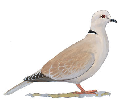 Turtle Dove clipart dove bird #3
